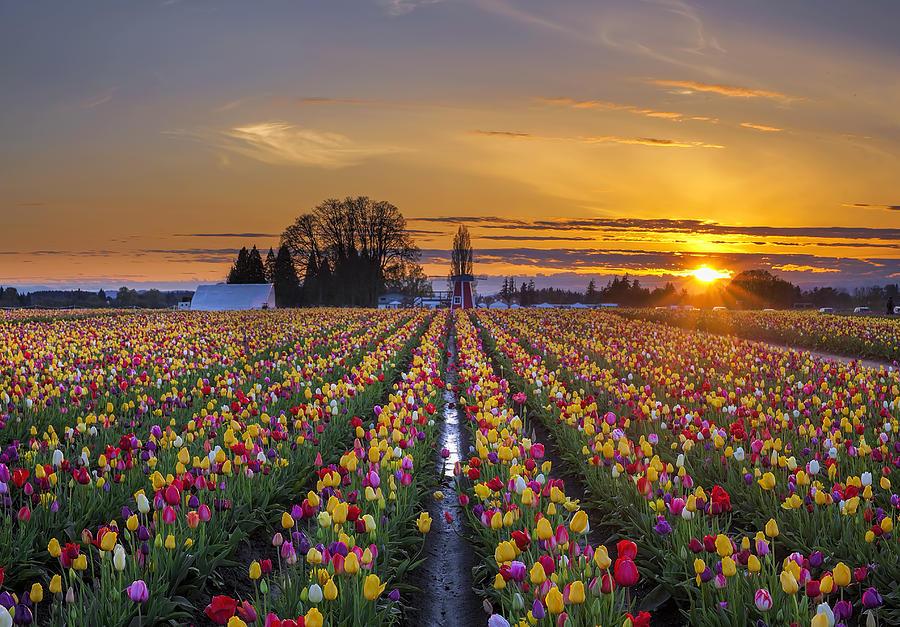 Wooden Shoe Photograph - Wooden Shoe Tulip Festival Sunset by David Gn