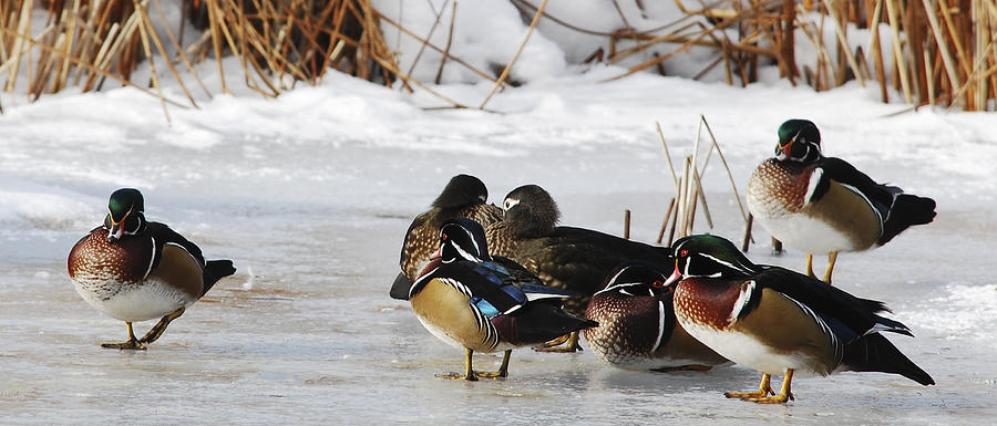 Adult Photograph - Woodies On Ice by Thomas Pettengill