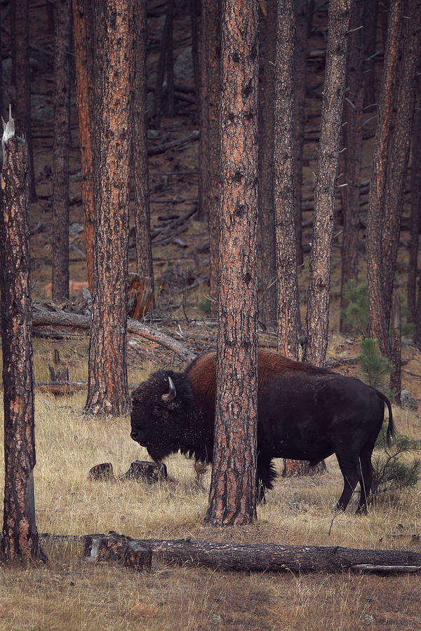 Bison Photograph - Woodland Bison by Deborah Johnson