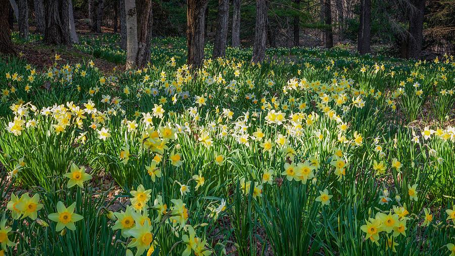 Daffodil Photograph - Woodland Daffodils by Bill Wakeley