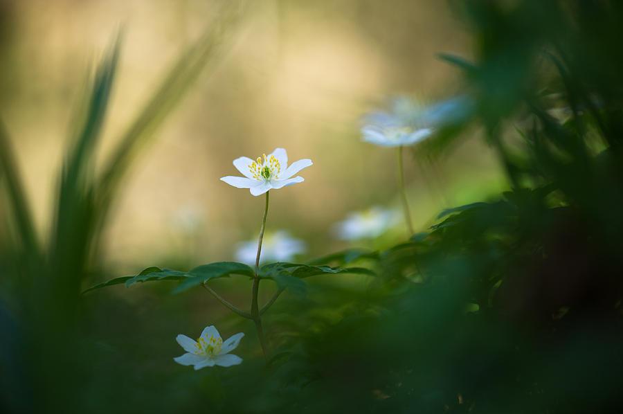 Anemone Nemorosa Photograph - Woodland Deities by Sarah-fiona  Helme