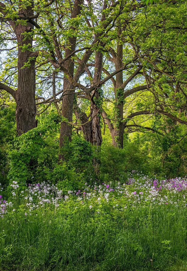 Bolton Photograph - Woodland Phlox 2 by Steve Harrington
