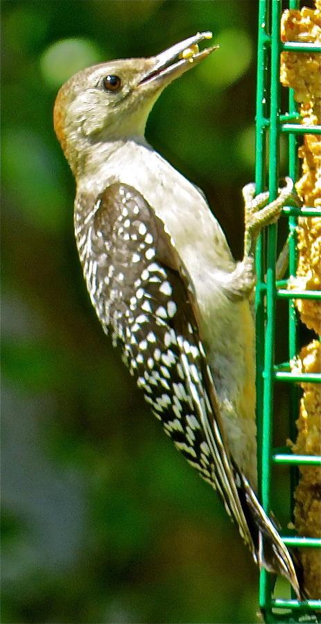 Woodpecker 101 Photograph by Patsy Pratt