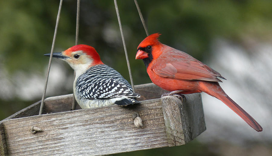 Birds Photograph - Woodpecker And Cardinal by John Kunze