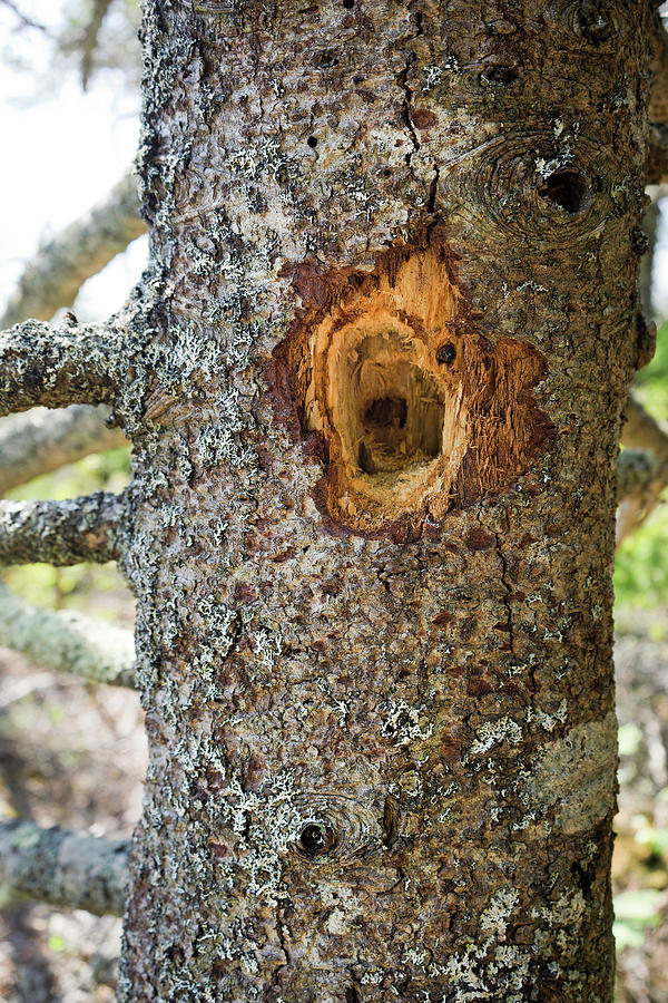 Vertical Photograph - Woodpecker Hole On A Pine Tree by Leslie Parrott