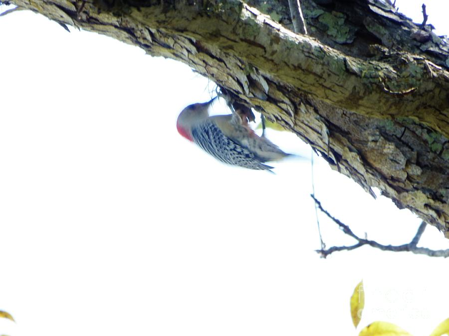 Woodpecker In A Tree Painting by Marie Bulger