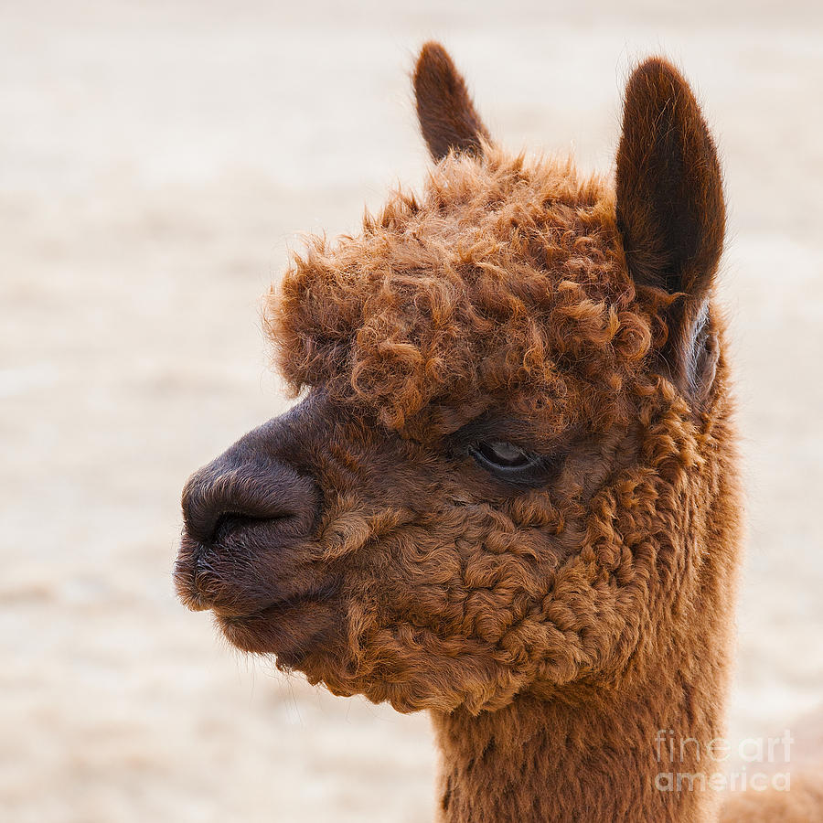 Woolly Alpaca Photograph by Jerry Cowart