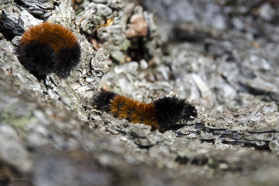 Woolly Bear Caterpillar Photograph - Woolly Bear Caterpillar by Christina Rollo