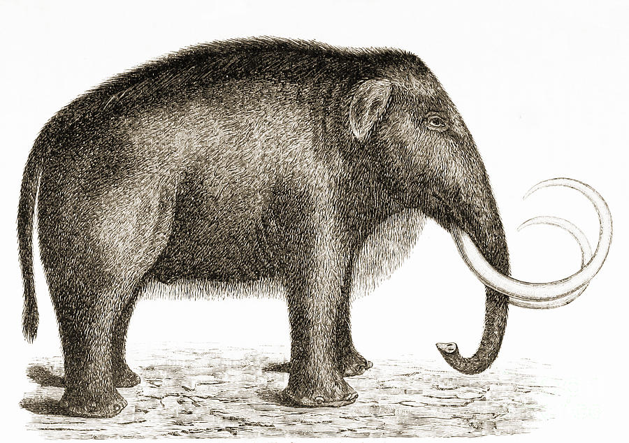 Woolly Mammoth Photograph - Woolly Mammoth by British Library