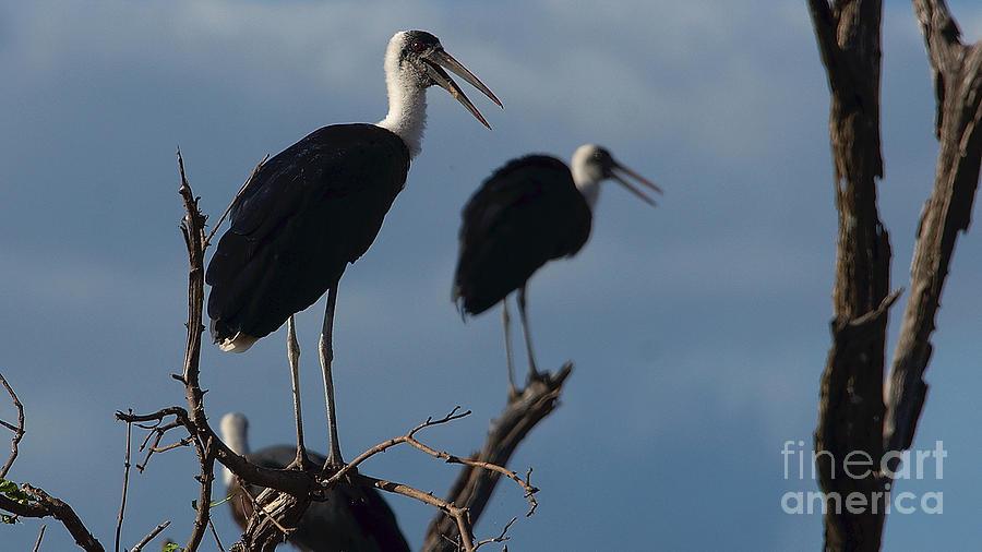 Woollynecked Stork by Mareko Marciniak