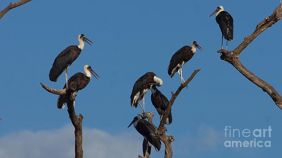 Woollynecked storks by Mareko Marciniak