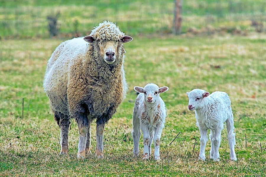 Wooly Photograph - Wooly Babies   by Constantine Gregory