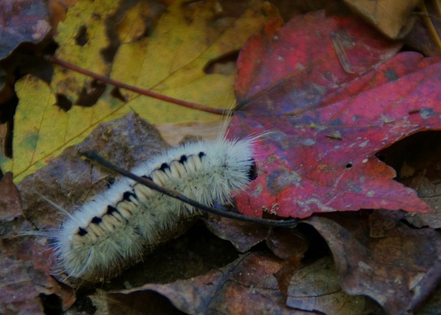 Caterpillar Photograph - Wooly by Doug Hubbard