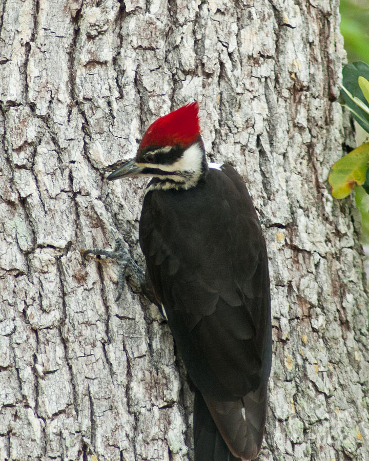 Florida Photograph - Working Woodpecker by Stephen Whalen
