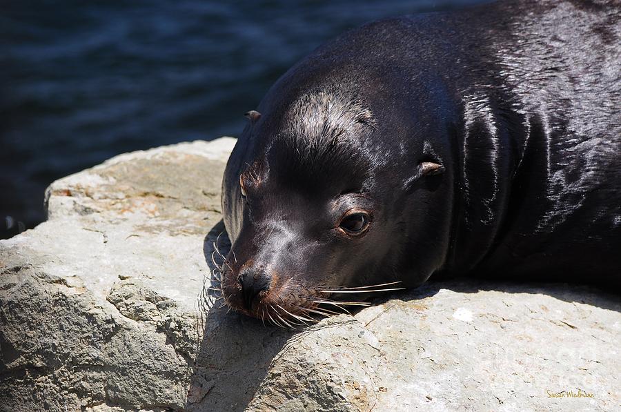 Susan Wiedmann Photograph - Wounded Sea Lion Resting by Susan Wiedmann