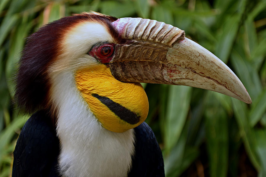 Bird Photograph - Wreathed Hornbill by Eric Albright