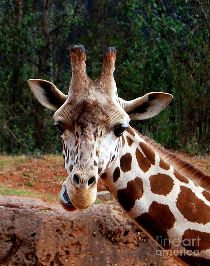 Giraffe Photograph - Wuz Up Dude by Nancy Bradley