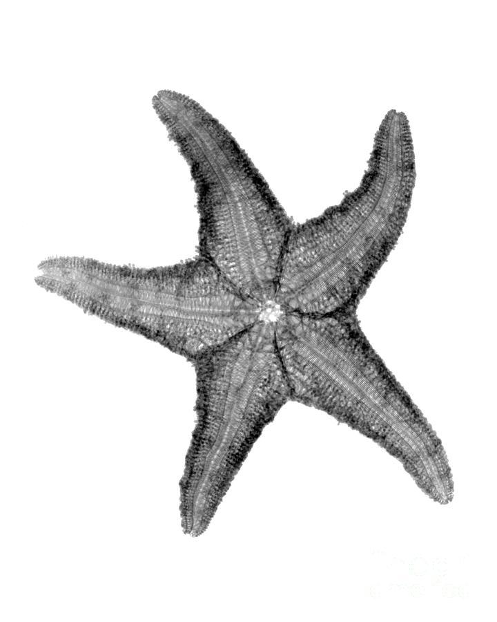Radiograph Photograph - X-ray Of Starfish by Bert Myers