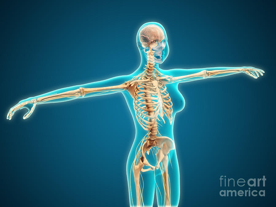 X-ray View Of Female Body Showing Digital Art by Stocktrek Images
