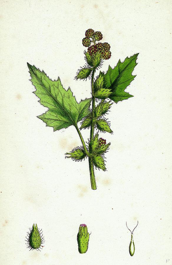 19th Century Drawing - Xanthium Strumarium Common Bur-marygold by English School