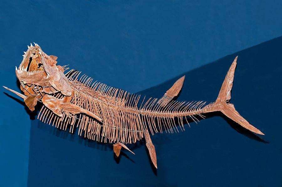 Xiphactinus Audax Fish Fossil Photograph by Millard H. Sharp