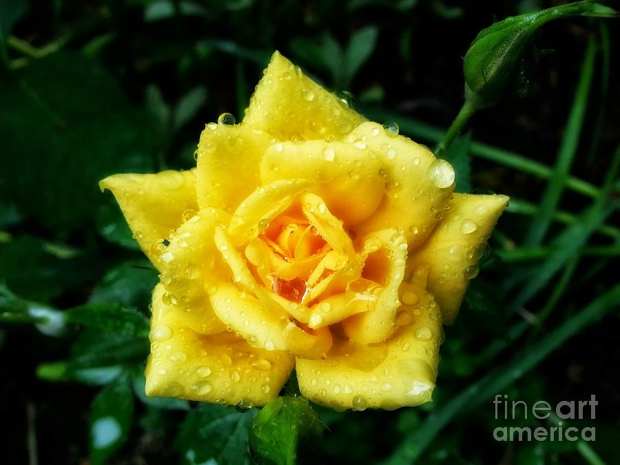 Rose Photograph - Y-rose by Heather L Wright