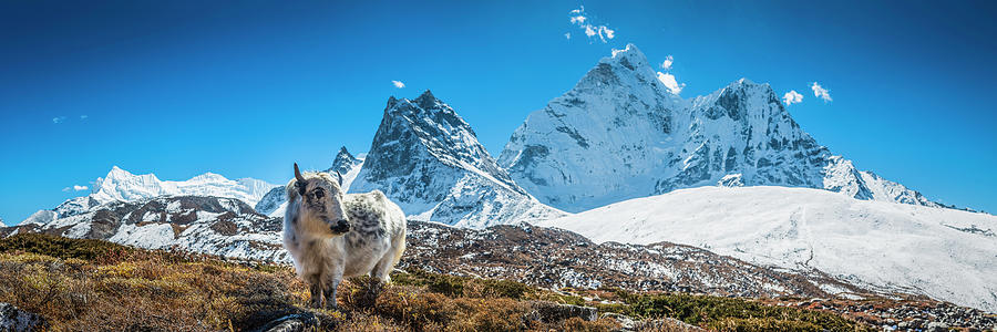 Yak Calf Grazing In High Altitude Photograph by Fotovoyager
