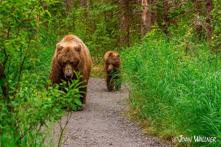Alaska Photograph - Yearling Grizzly following its mom by Joan Wallner