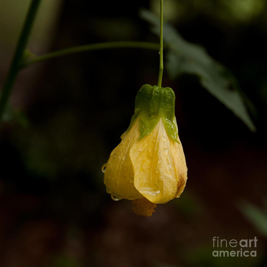 Yellow Abutilon at Lichgate by Kathi Shotwell