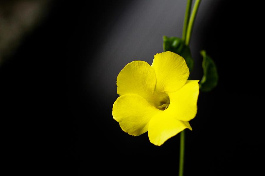 Yellow Allamanda Photograph - Yellow Allamanda by Donald Chen