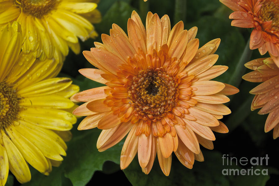 Yellow Photograph - Yellow And Peach Daisy by William Norton