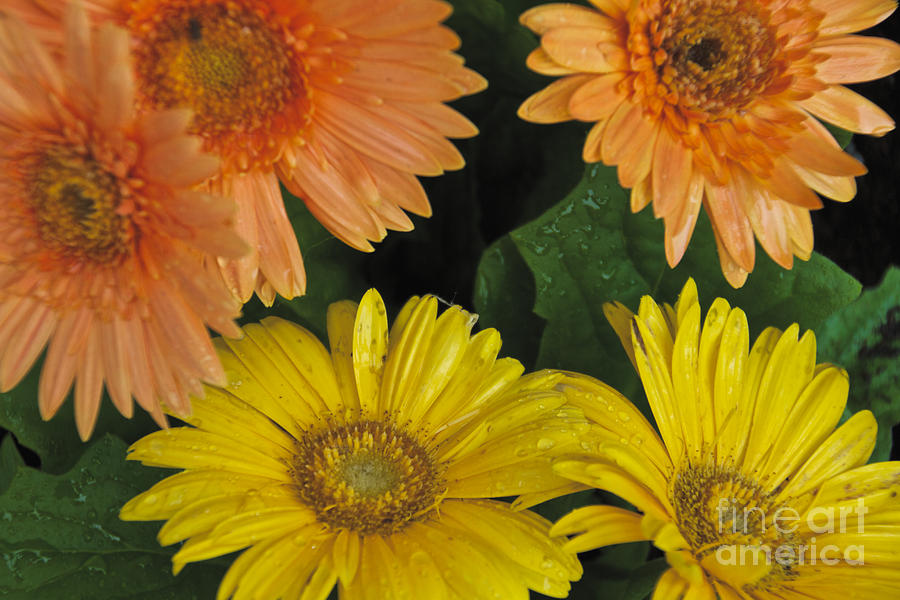 Yellow Photograph - Yellow And Peach by William Norton