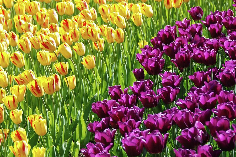 Yellow And Purple Tulips Photograph - Yellow And Purple Tulips by Allen Beatty