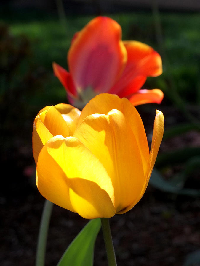 Bulbs Photograph - Yellow And Red Tulips by Anne Cameron Cutri