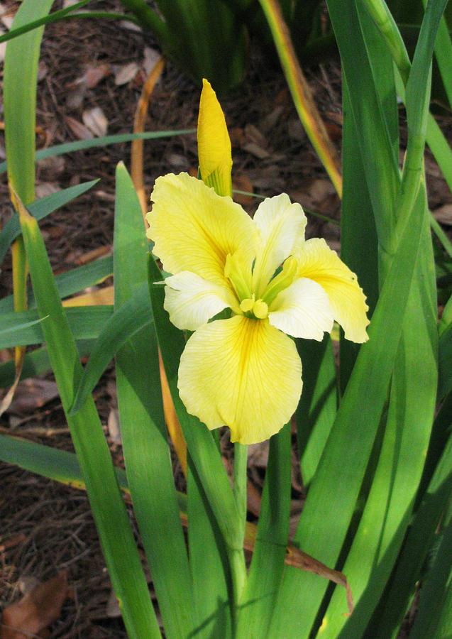 Yellow and White Iris Flower by Tom Hefko