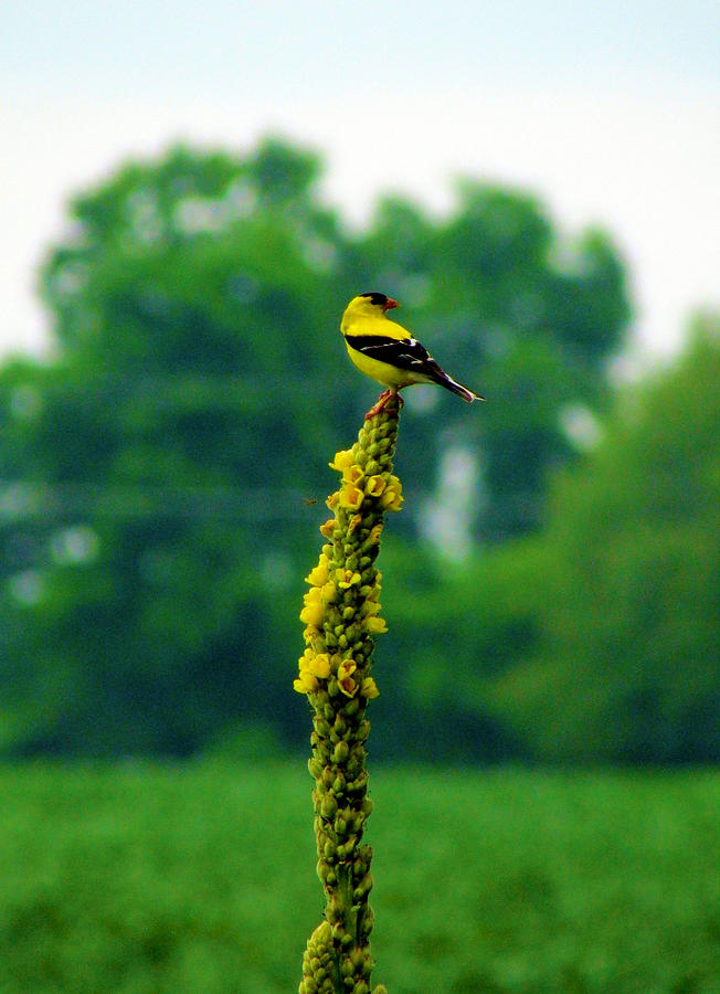 Bird Photograph - Yellow by Andrea Dale
