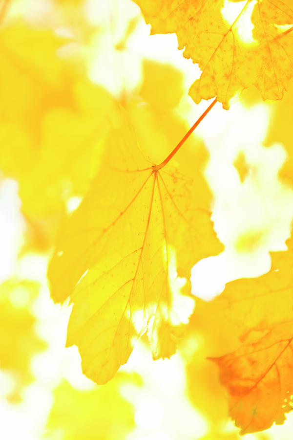 Yellow Autumn Leaves, Close-up Photograph by Johner Images