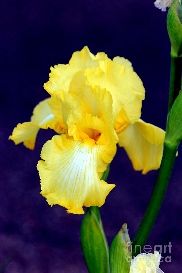 Yellow Bearded Iris Photograph - Yellow Bearded Iris by Kathy  White