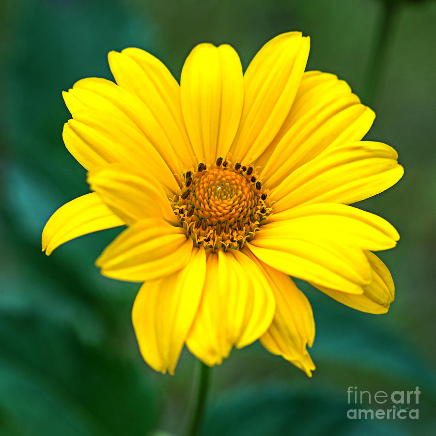 Maine Landscape Photographers Photograph - Yellow Beauty by Alana Ranney