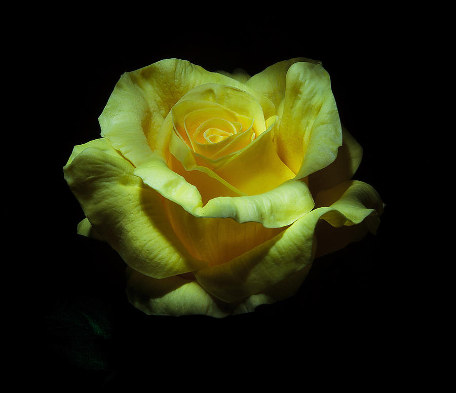 Rose Photograph - Yellow Beauty by Cecil Fuselier