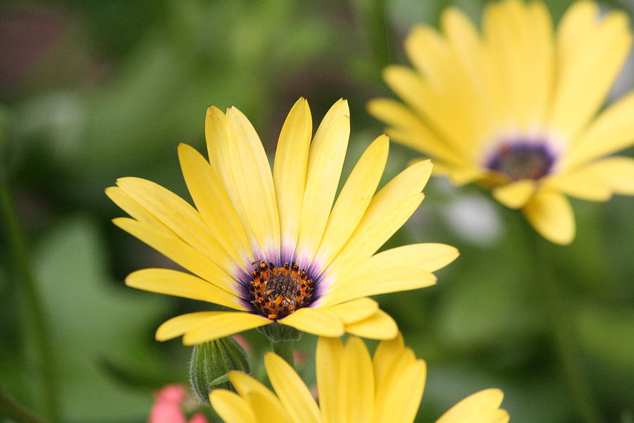 Garden Photograph - Yellow Beauty by Sue Chisholm