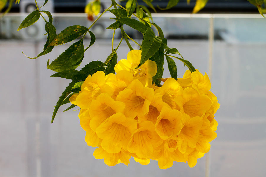 Yellow Bell Photograph - Yellow Bell Singapore Flower by Donald Chen