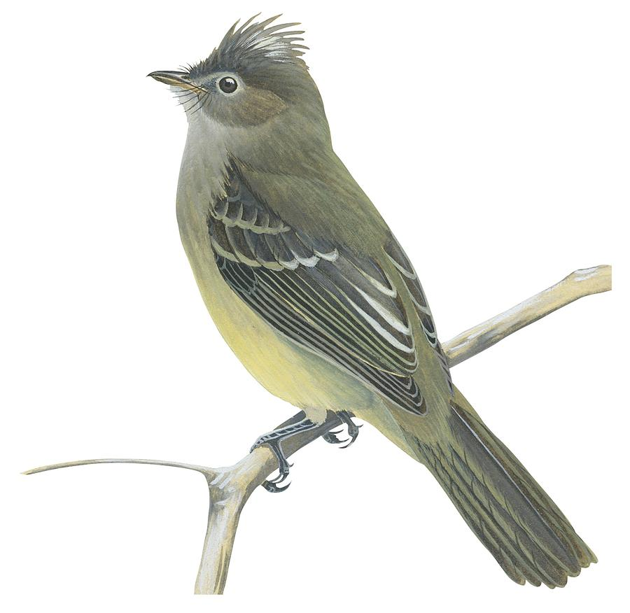 Bird Drawing - Yellow Bellied Elaenia  by Anonymous