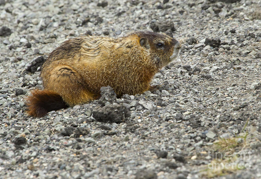 Marmot Photograph - Yellow-bellied Marmot   #5187 by J L Woody Wooden