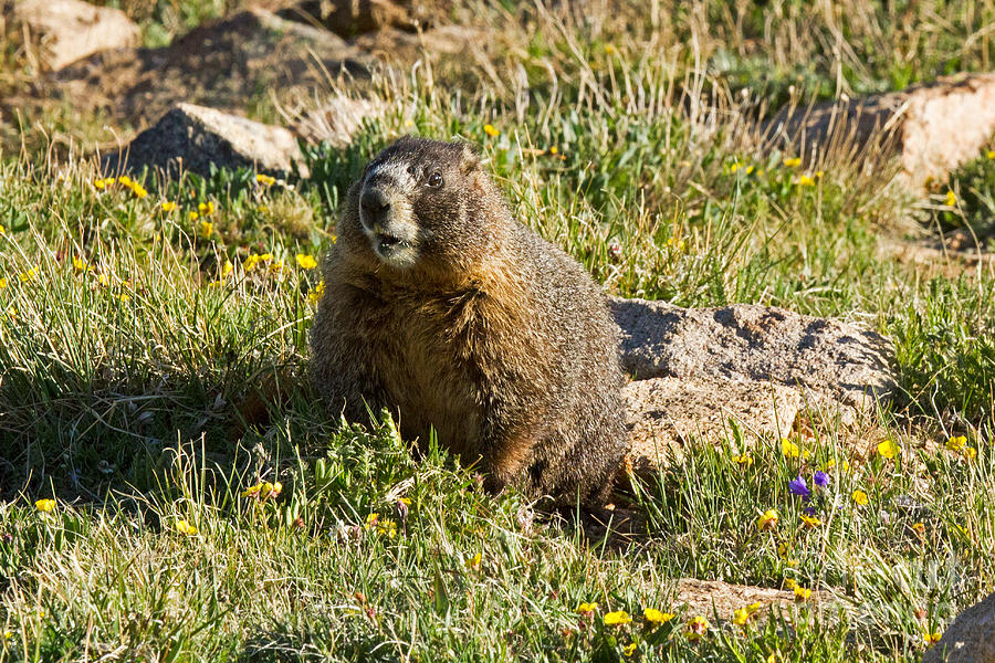 Yellow Bellied Marmot On Alert In Rocky Mountain National Park Photograph