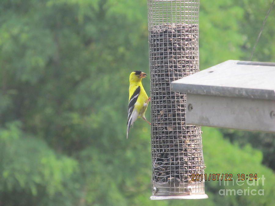 Birds Photograph - Yellow Bird Feeding by Tina M Wenger