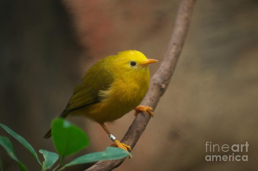 Golden White-eye by Miguel Celis