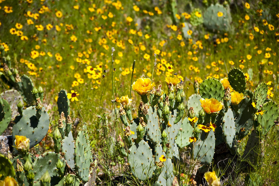 Texas Photograph - Yellow Blooms by Mark Weaver