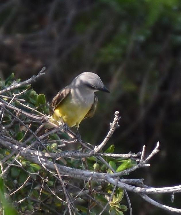 Kingbird Photograph - Yellow Breasted Kingbird by Stefon Marc Brown