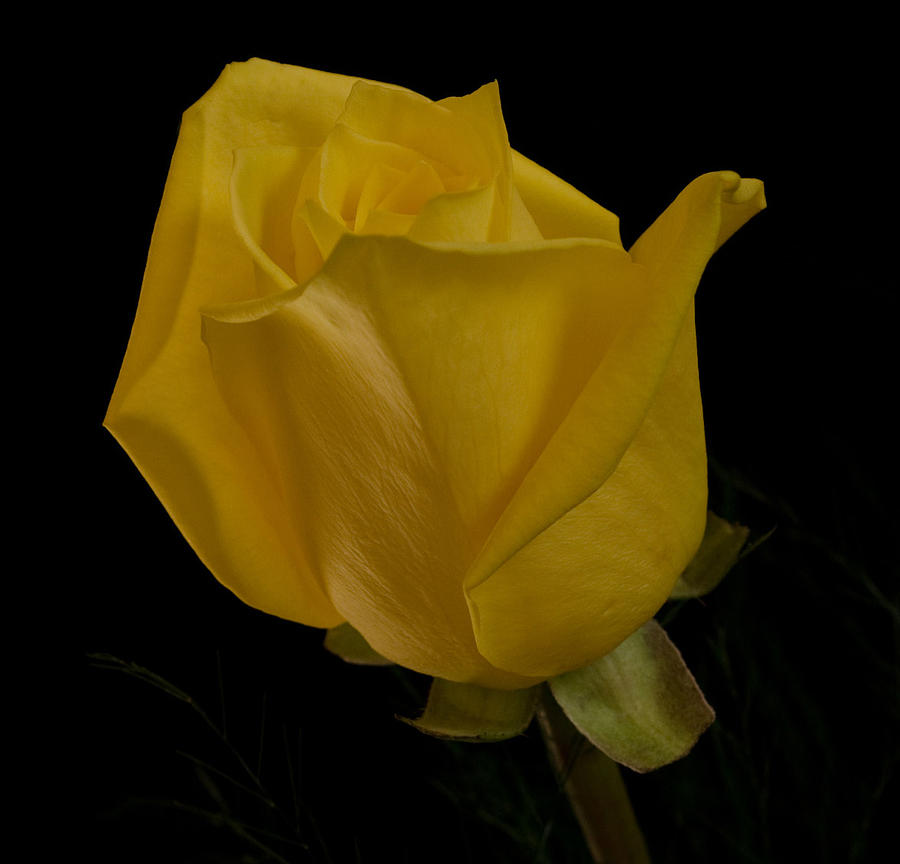 Rose Photograph - Yellow Bud by Nancy Edwards